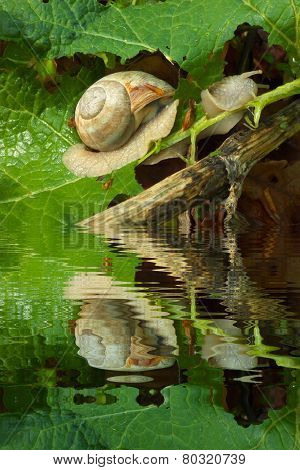 Breakfast Of The Snail With Water Refections