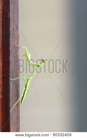 Praying Mantis (stagmomantus Carolina)