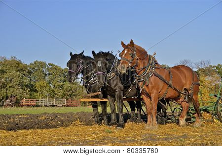 Team of three horses in the field