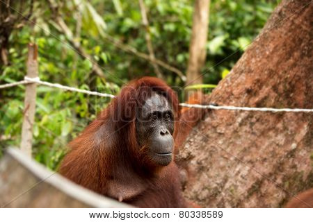 Closeup photo of female orangutan.