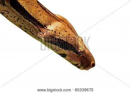 Python Portrait