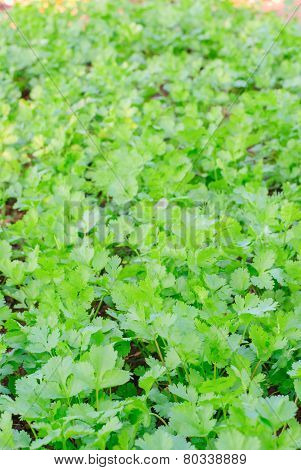 Coriander Herb Leaves Detail