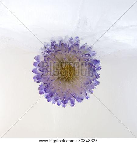 Frozen   Flower Of   Aster
