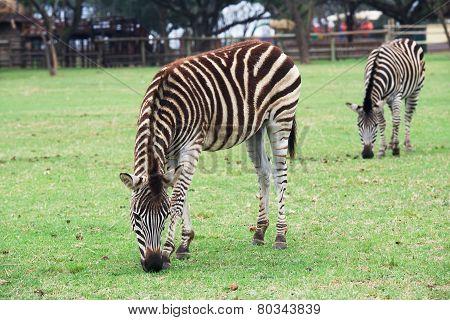 Zebra in Lion Park
