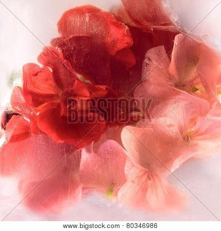 frozen geranium