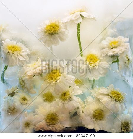 Frozen   Flower Of   Chrysanthemum