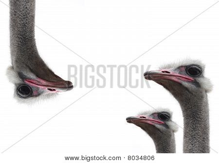 three ostrich heads