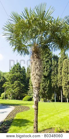 Fan-shaped Chinese Palm