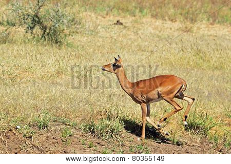 Female Impala Running In The Savannah