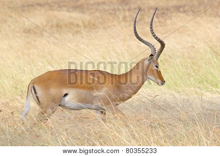 Male Impala In The Grass