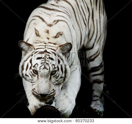 White tiger, Portrait Of A Bengal Tiger.