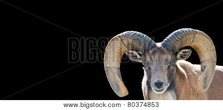 Isolated Ram