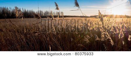 Reed Grass With Golden Light