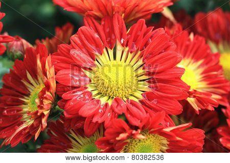 Chrysanthemum flowers and raindrop