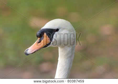 Portrait Of White Swan
