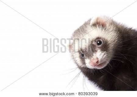 Ferret looks out