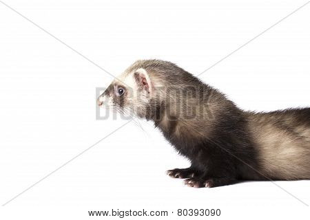 Cute grey ferret