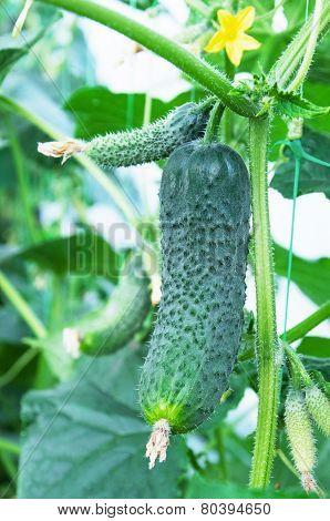 Cucumbers Growing In Film Greenhouses.