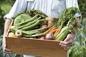stock photo of grown up  - Close Up Of Man On Allotment With Box Of Home Grown Vegetables - JPG