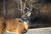 foto of deer rack  - Whitetailed deer buck in a meadow in Jefferson Barracks National Cemetery near St - JPG
