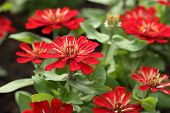 stock photo of zinnias  - the red zinnia flower in the gardein - JPG
