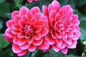 image of unique landscape  - Dahlia flowers - JPG