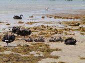 foto of black swan  - Black swan family on Kangaroo island in Australia - JPG