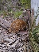 picture of ant-eater  - The short-beaked echidna or anteater (Tachyglossus aculeatus) in Australia