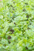 stock photo of cilantro  - cilantro Coriander Herb green leaves detail in garden - JPG