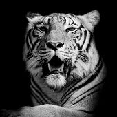 stock photo of tigers  - Tiger portrait of a bengal tiger black color background - JPG