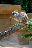 stock photo of meerkats  - A meerkat has made himself comfortable on a tree branch - JPG