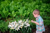 image of easter lily  - A young boy holding a blue egg stops to inspect a beautiful display of Easter lilies in a garden during an Easter egg hunt in the spring season - JPG