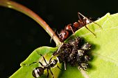 foto of lice  - A macro shot of a red ant black ant and aphids on a leaf - JPG