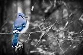 stock photo of blue jay  - A puffed up blue jay sits on a branch of a tree in a forest during a snowy day in Ontario Canada. Selective color used. ** Note: Shallow depth of field - JPG