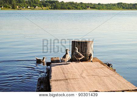Small Seagull Near River, Summer