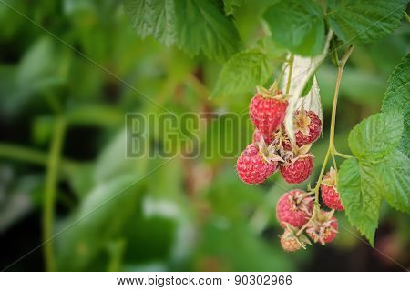Growing Organic Berries Closeup