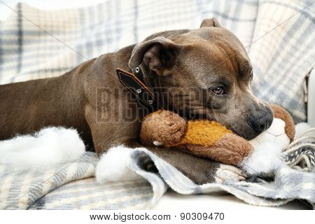 Dog with broken toy bunny rabbit on home interior background