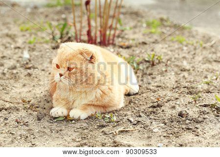 British cat outdoors