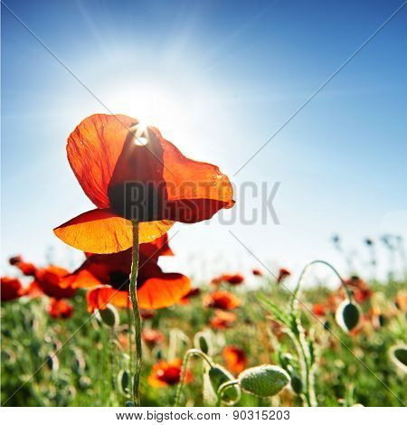 Beautiful Red Poppies On The Green Field