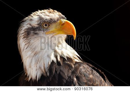 Bald Eagle - Haliaeetus leucocephalus on black background