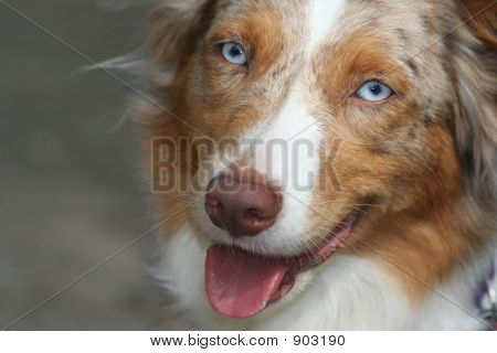 Blue-Eyed Dog