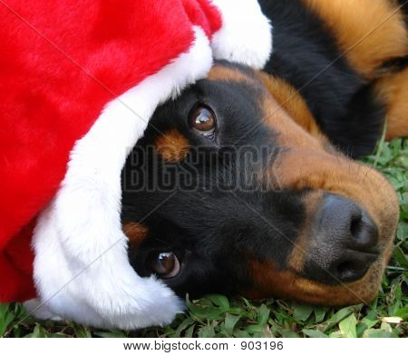 Christmas Rottweiler