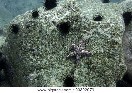 Sea star Asterias amurensis