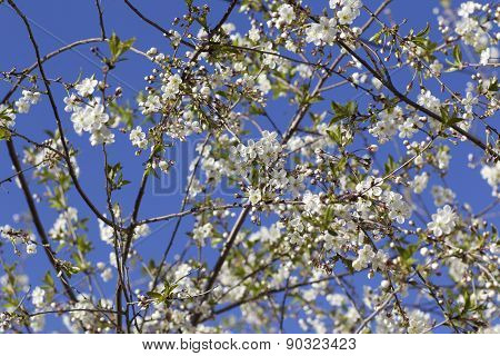 Cherry Blossoms Against The Blue Sky