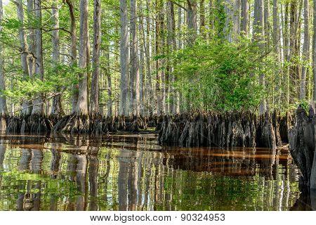 River Cypress
