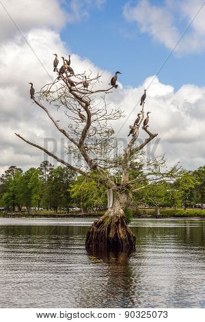 Cormorants On Bald Cypress Tree