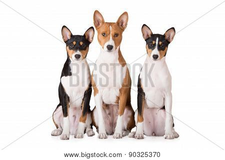 three basenji breed dogs on white