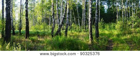 Green Birch Grove