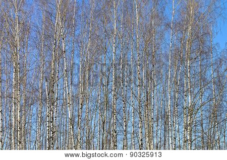 Slender Young Birches Against The Blue Sky.
