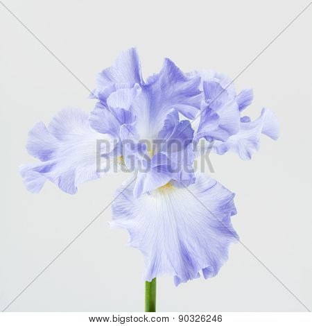 Mauve German Bearded Iris